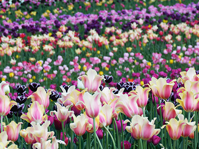 Chicago tulips field