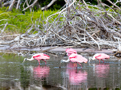 Flamands roses dans le parc national Everglades en Floride